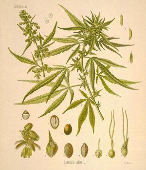 cannabis sativa rasta sacred hemp australia cbd oil